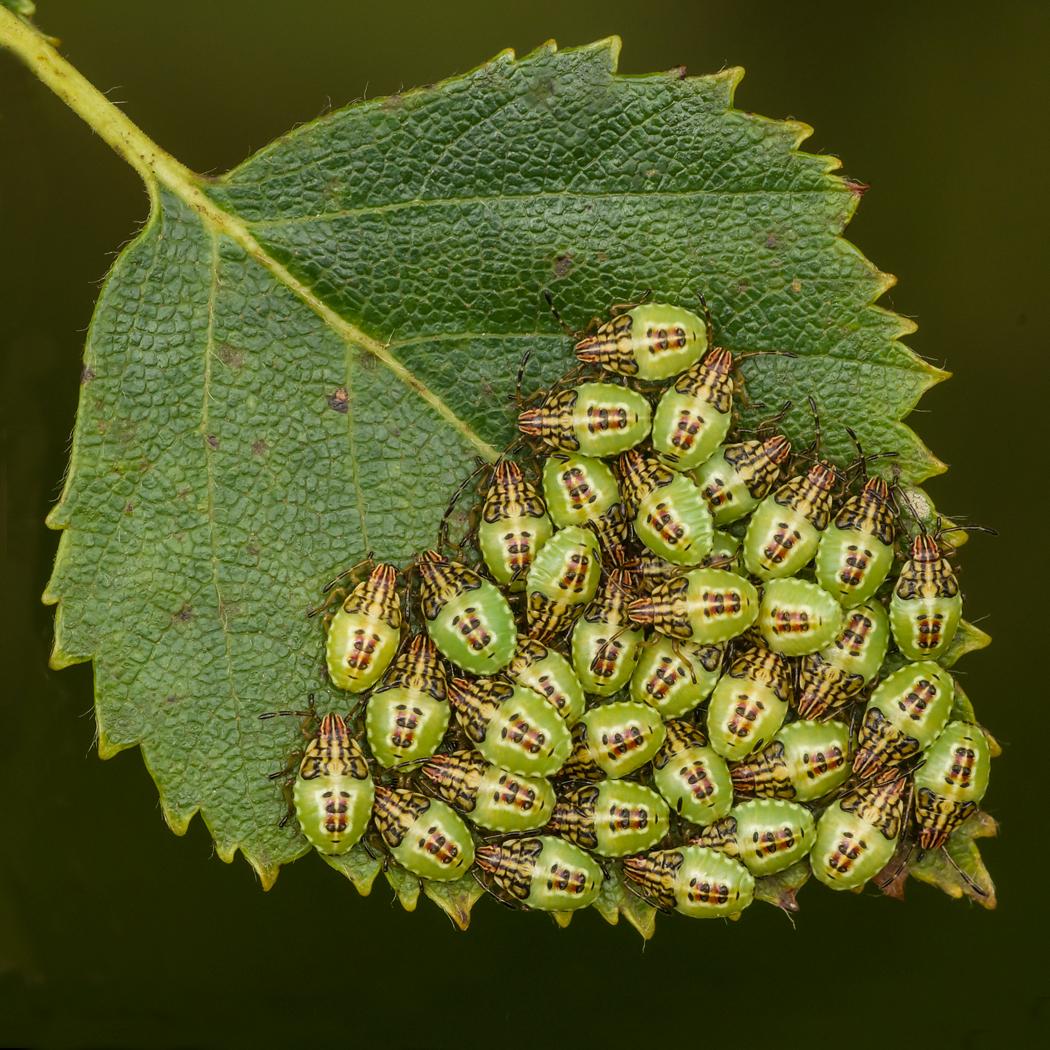 Parent Bug (Elasmucha grisea)