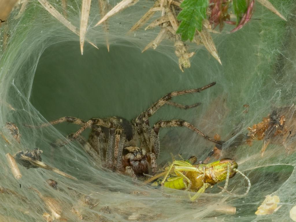 Spider in web with prey - photo#34